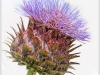 Advanced Colour Prints – Second – Cynara Cardunculus by Tim Booth (October 2016)