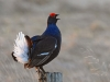 Advanced Colour Prints – First – Black Grouse Lekking by Carrie Calvert