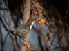 Advanced Projected Images – First – Dipper With Nest Material by Alan Thomson