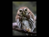 Advanced-Colour-Prints-HC-Pygmy-Owl-by-Steve-Mclellan