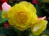 Newcomers Projected Images - First - Yellow Begonia by Chris Scott
