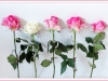 Old Timer Trophy - Third= - Roses In A Row by Lawrence Graham)