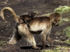 Victory Cup - First - Gelada With Juvenile by Pax Garabedian DPAGB EFIAP